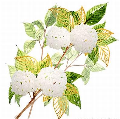 Amerikaanse sneeuwbal - Virburnum prunifolium  100 gram