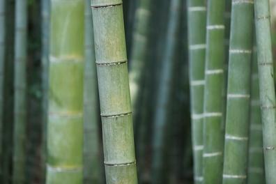 Bamboe - Bambuseae  100 gram