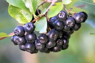 Aronia bessen (appelbes) - Aronia melancarpa  100 gram