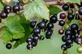 Zwarte bessen (ribus nigrum) 100 gram