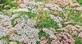 Duizenblad (gewoon) - Achillea millefolium 100 gram