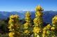 Gele gentiaan - Gentiana lutea 100 gram