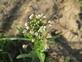 Herderstasje - Capsella bursa-pastoris 100 gram
