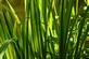 Kalmoes - Acorus calamus 100 gram