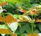 Katsklauw - Uncaria tomentosa 100 gram