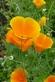 Slaapmutsje - Eschscholzia californica 100 gram