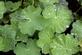 Vrouwenmantel - Alchemilla vulgaris 100 gram
