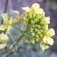 Mosterd (wit) - Sinapsis alba 100 gram