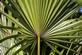 Zegepalm - Serenoa repens 100 gram