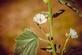 Echte heemst - Althaea officinalis 100 gram