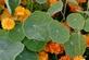 Oost-indische kerst- Ropaeolum majus 100 gram