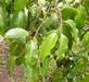 Rood stinkhout - Prunus africana 100 gram