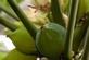 Papaya (papaja meloenboom) - Carica papaya 100 gram