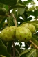 Indische Moerbei - Morinda citrifolia 100 gram