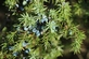 Jenerverbes - Juniperus communis 100 gram
