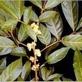 Potentie hout- Aacanthea virilis 100 gram