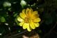 Speenkruid - Ranunculus ficaria 100 gram