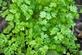 Duivenkervel, gewone - Fumara officinalis 100 gram