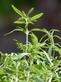 Eenjarig bonenkruid - Satureja hortensis 100 gram