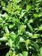 Ligusticum - Ligusticum - Chuanxiong 100 gram