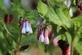 Smeerwortel - Symphytum officinale 100 gram