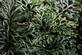 Valkruid - Arnica montana 100 gram