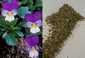 Driekleurig viooltje 100 gram