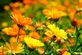 Goudsbloem - Calendula officinalis
