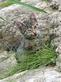 Kattenkruid - Nepeta cataria