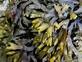 Kelp fucus - Vesiculosis 100 gram